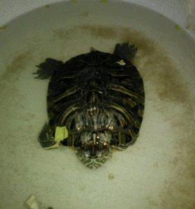 Морские красноухие черепахи