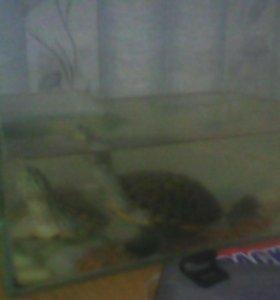 Продам 2Черепашки плюс аквариум недорого
