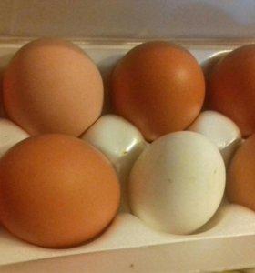 Яйца домашних куриц