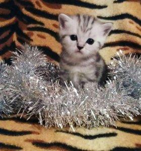 Мраморные котята-шотландцы😻