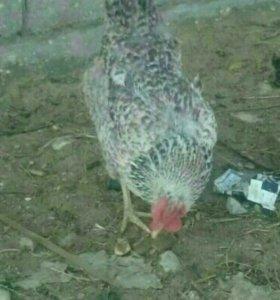 Курица бартер
