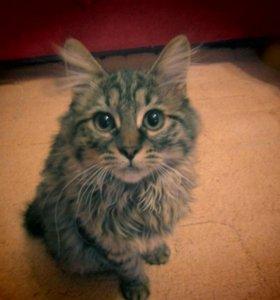 Котята курильский бобтейл
