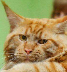 Продам кота породы мейн кун