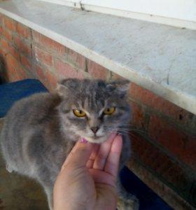 Вислоухий Британский кот