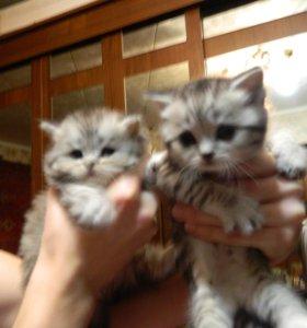 Шотландские котята (девочки)