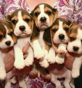 Красивые щенки Бигля!