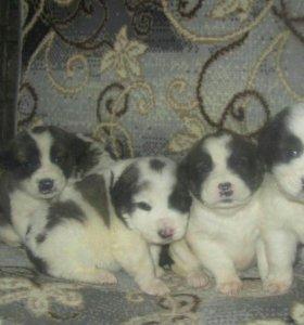 Продам очаровательных щенят Среднеазиатской овчарк