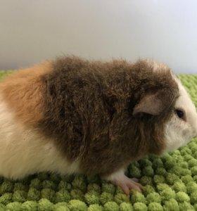 Морские свинки - Американские Тедди