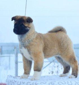 Предлагаем к продаже щенков Американской Акиты