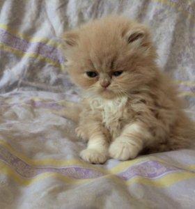 Продам персидского котика
