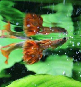 """Очень красивые рыбки """"Гуппи"""""""