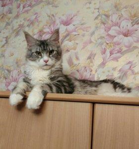 Кошечки мейн кун- ждут мам и пап!