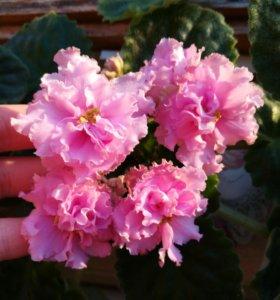 Сортовые цветы