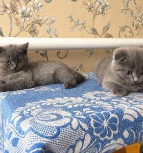 Продам британских и шотландских котят