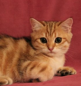 Кот из питомника