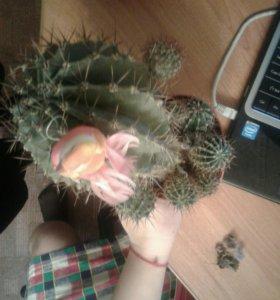 Вечно цветущий кактус