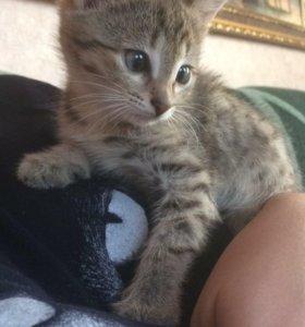 Котёнок, мальчик) приучен к лотку! Шустрый