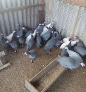 Продаются цесарки и гуси