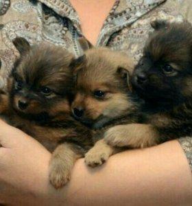 Малюсенькие собачки