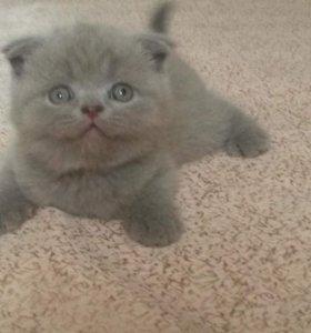 Отличные шотландские плюшевые котята