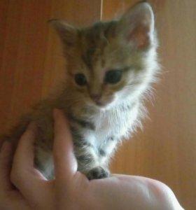 Подарю котят от ласковой мамы крысолова