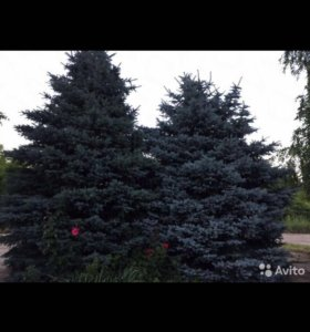 Продаются елки