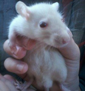 Крыски сиамские, малыши