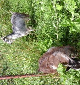 Продаются козы и козлик