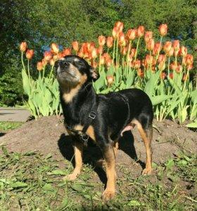Кастрация-стерелизаия собак