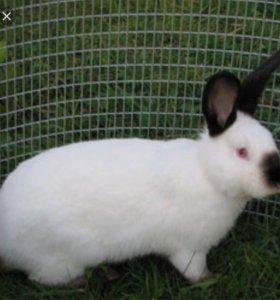 Кролик колифорнийский