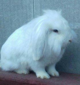 Кролики породы: Баран .