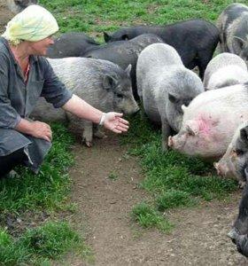 Ветнамские свиньи