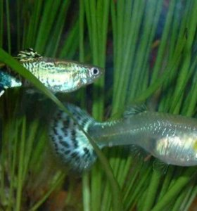Аквариумные рыбки гуппи.