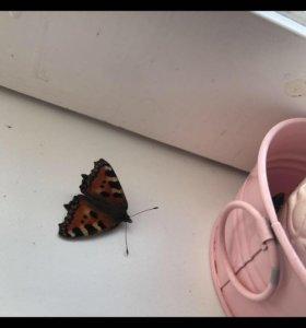 Бабочки мертвые (спящие)