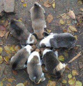 Щенки Западно-Сибирской лайки
