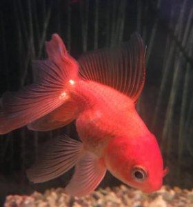Золотая рыбка и сомик