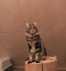Кот для вязки Мейн-кун