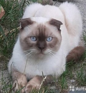 Шотландский котик (Skottish Fold) вязка