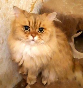 Котик золотая шиншилла