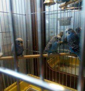 Волнистый попугайчик «девочка»