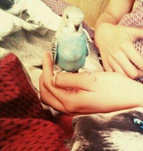 Птинец волнистого попугая