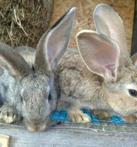 Кролики крупной породы(СРОЧНО)быстро плодятся