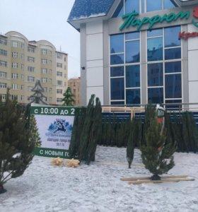 Новогодняя Ёлка, Сосна