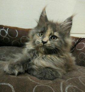 Котёнок Мейн-кун шоу-брид класса