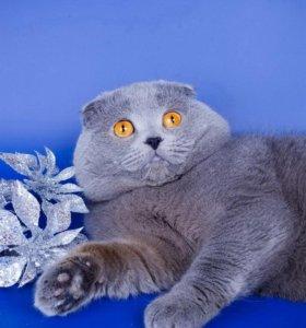 Вязка с вислоухим котом и есть котята