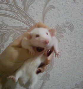 Продаю крысок декоративных
