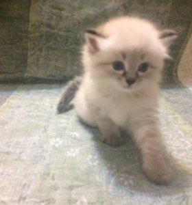 Котята кошки ангорской породы