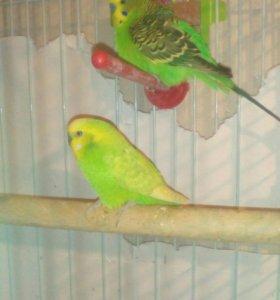 Волнистые попугаи!!!