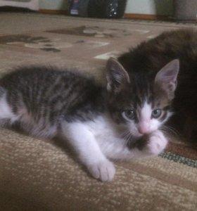 Котёнок от мейн кун