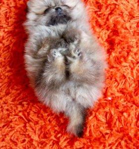 Померанский щенок
